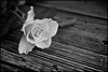 Rose (Black and White)