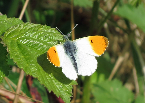 Orange-tip - Anthocharis cardamines