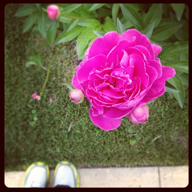 The peony I've been stalking finally popped! #foundwhilerunning