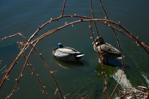 5.16 - Two Ducks
