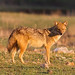 Golden Jackal (Paul Young)