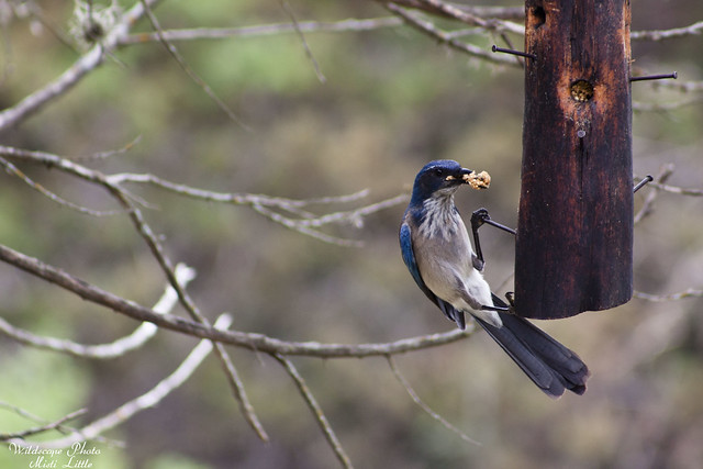 Western Scrub Jay at Lost Maples
