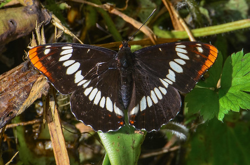 <p><i>Limenitis lorquini ilgae</i>, Nymphalidae<br /> Burnaby Lake Park, Burnaby, British Columbia, Canada<br /> Nikon D5100, 70-300 mm f/4.5-5.6<br /> June 29, 2013</p>