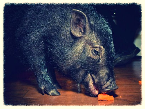 Pig (195/365) by elawgrrl