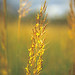 Yellow Indian Grass