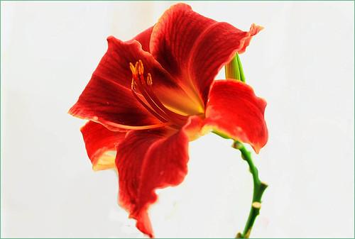 Daylily   (Hemerocallis) by T.takako
