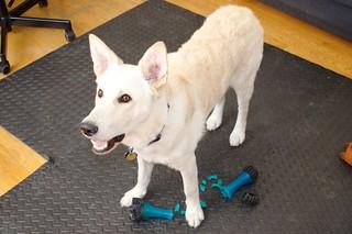 Balki Destroying Toys'R'Us Treat Dispensing Toy