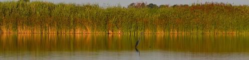 ontario sunrise reflections nikon lakeerie marsh blueheron 70200 chathamkent d7000