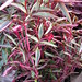Small photo of Alternanthera Purple Threadleaf