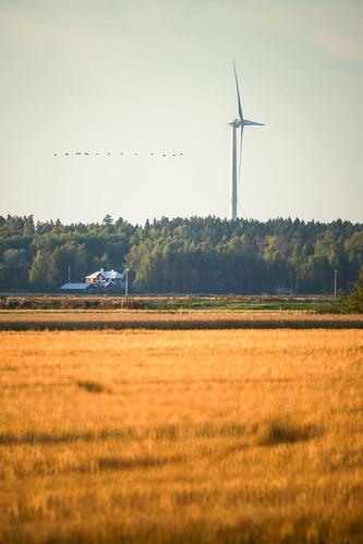 autumn bird fall field finland crane migration syksy vaasa lintu muutto kurki söderfjärden peltovaasaostrobothniafinland