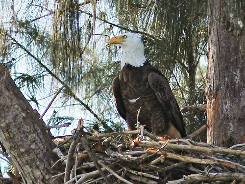 Bald Eagle male at nest 4-20150211