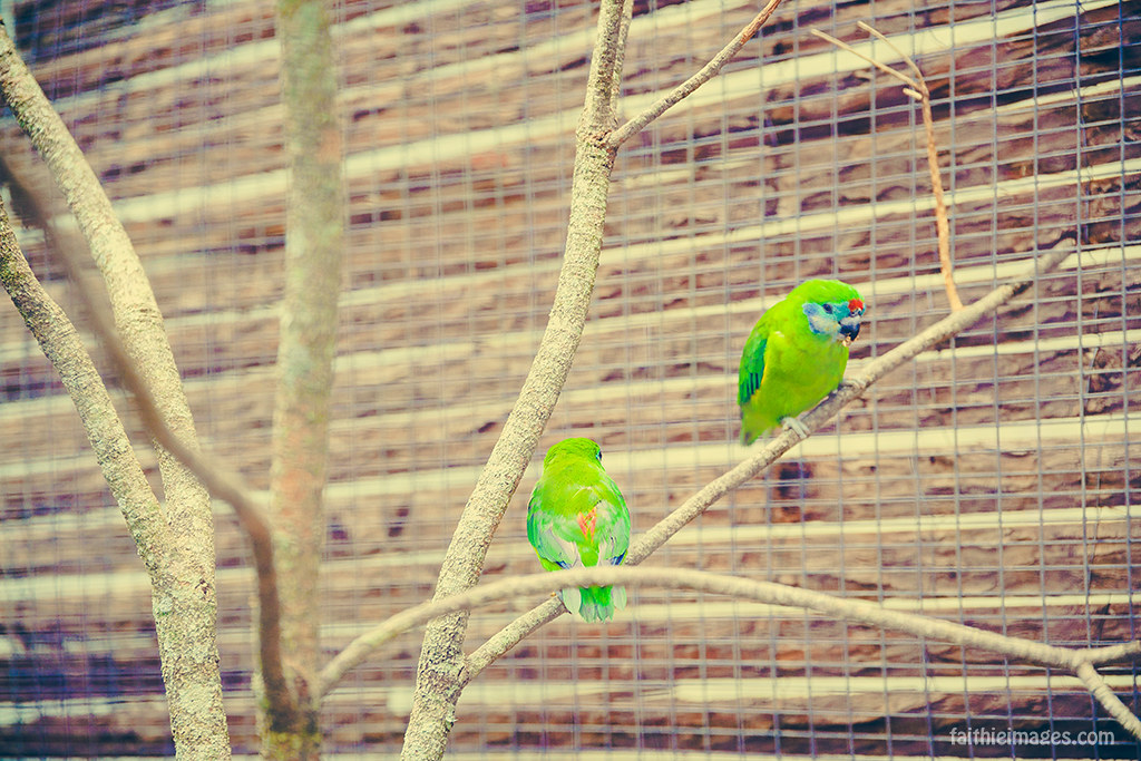 Colorful green parrots