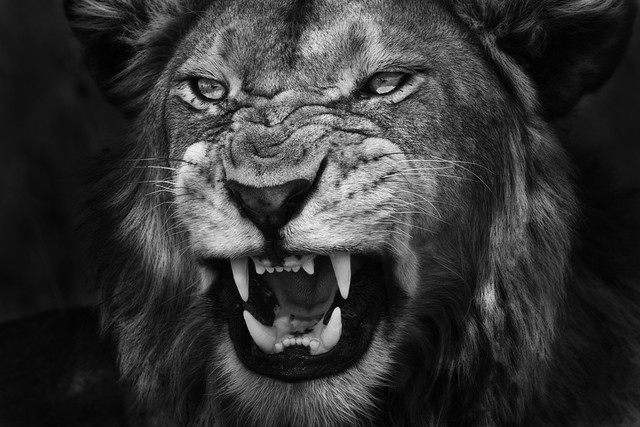 Lion images black and white - photo#11