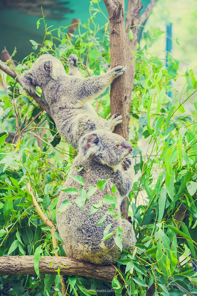 Couple of koalas eating leaves