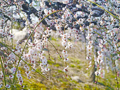 Weeping Ume blossoms. 梅 藤牡丹枝垂