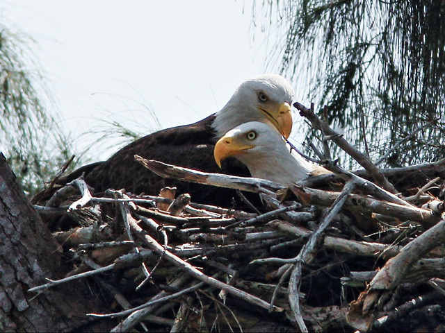 Bald Eagle pair on nest 20150316
