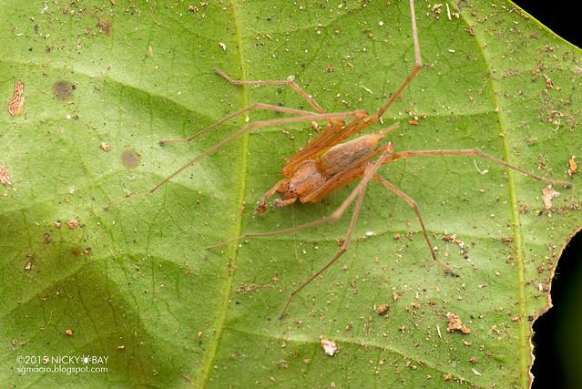 Long-legged sac spider (Miturgidae) - DSC_3557