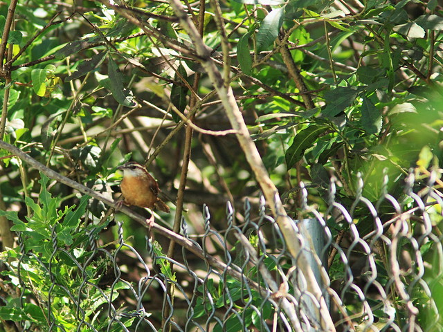 Carolina Wren on fence 20150322