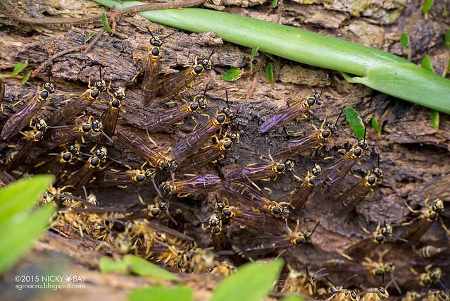 Paper wasps (Polistinae) - DSC_5039