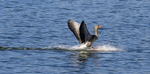 greylag goose 448 (41)