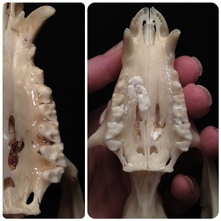 """BONELUST Q&A: """"The teeth fell out of my skull! Did I do something wrong? How do I fix it?"""" It is absolutely normal for some of the teeth to fall out of a skull you are processing. The gums that once held them in place are now gone. It is also normal for t"""