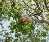 Horse chestnut blossoms, 3/23/15