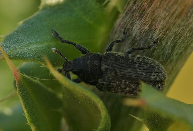 Rhinocillus conicus
