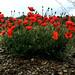 Poppies in slate soil, Priorat, Spain by fotowayahead