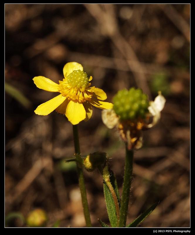 Prairie Buttercup (Ranunculus rhomboideus)