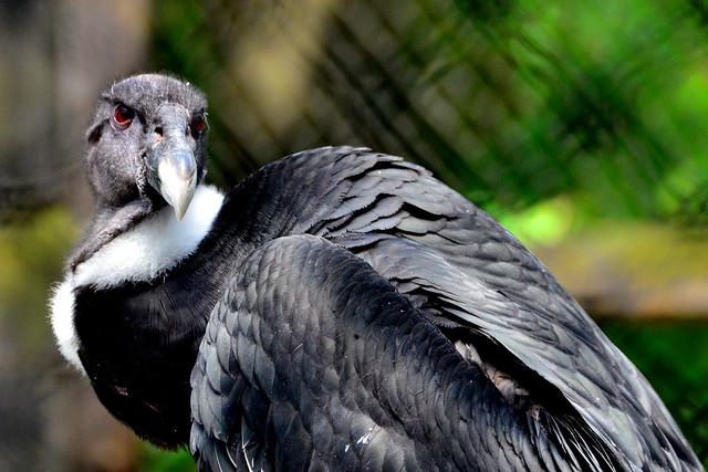 野毛山動物園のコンドル (Andean Condor of Nogeyama Zoo)