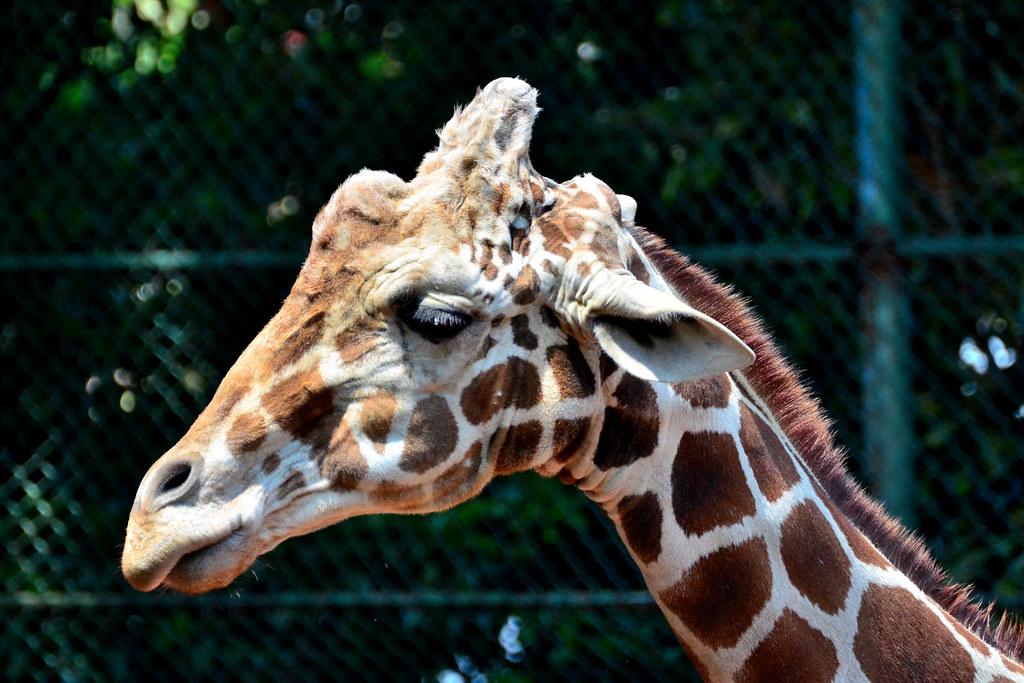 野毛山動物園のアミメキリン (Giraffe of Nogeyama Zoo)