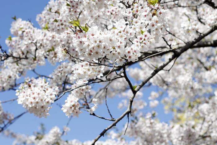 Sakura (7)