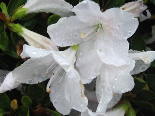 Wet white rhododendron