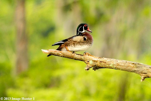 Male Wood Duck On Wood - Lake Martin, Louisiana