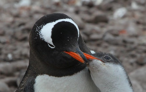 Gentoo Penguin (12) by Richard Collier