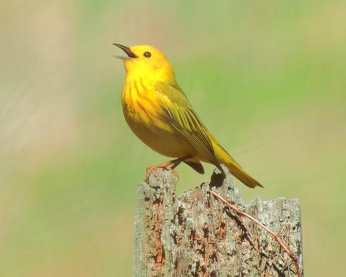 bird philadelphia nature yellow pennsylvania pa warbler tinicum yellowwarbler johnheinz johnheinznationalwildliferefuge qqqq