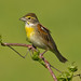 Dickcissel by Lindell Dillon