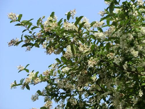 青い空に白い花