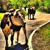 Las reinas de la carretera :-) #lariojaapetece #larioja #autentica #primavera #spring #spain #picoftheday #cows #farms #animals #vacas #photooftheday #igersmenorca #igerslarioja #instapick #instagram #sierraloscameros
