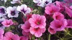 annual plant, shrub, flower, plant, flora, busy lizzie, pink, petal,