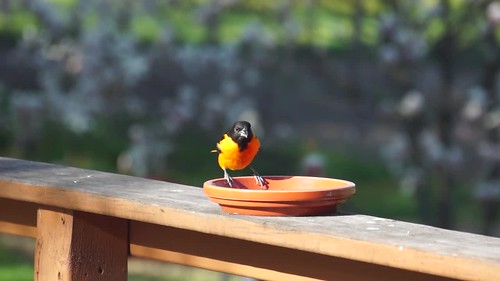 Oriole eating grape jelly