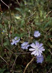 Chicorée sauvage (Cichorium intybus, astéracée)