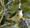American Redstart (Setophaga ruticilla) - Female