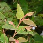 Corymbia torelliana young leaf