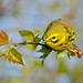Prairie Warbler-Dendroica discolor by srichards39
