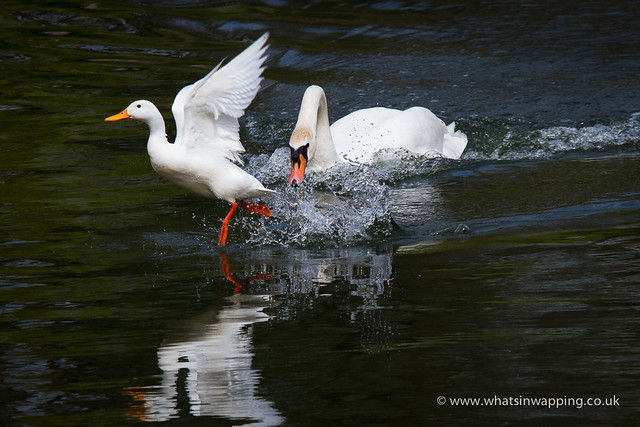 The white duck is chased out of Shadwell Basin by the resident swan