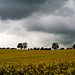 Sky, trees and rapeseed by W12Steve