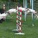 High Jump / Rabbit hopping / Bunny show jumping by Bjerner, DK