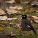 Small photo of Common Myna or Indian Myna (Acridotheres tristis)