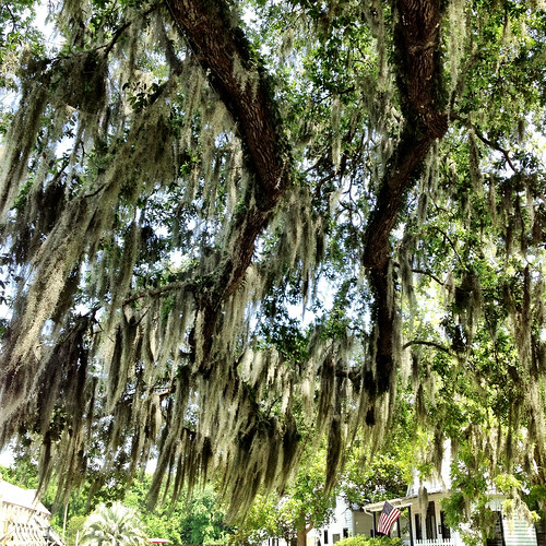 Spanish Moss in South Carolina